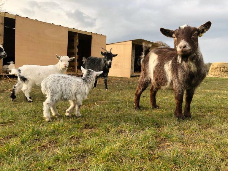 Beacon Farm Goats