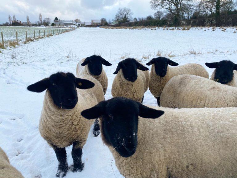 Sheep | Beacon Farm, Whitby, North Yorkshire
